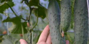 Какие сорта огурцов можно посадить один раз и собирать урожай все лето: высокоурожайные гибриды