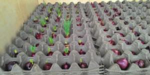 Оригинальный метод выращивания лука. А вы знали о таком?