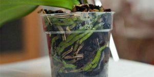 Регулярно цветущая орхидея у вас дома! Основные правила ухода за растением. Руководство для новичков