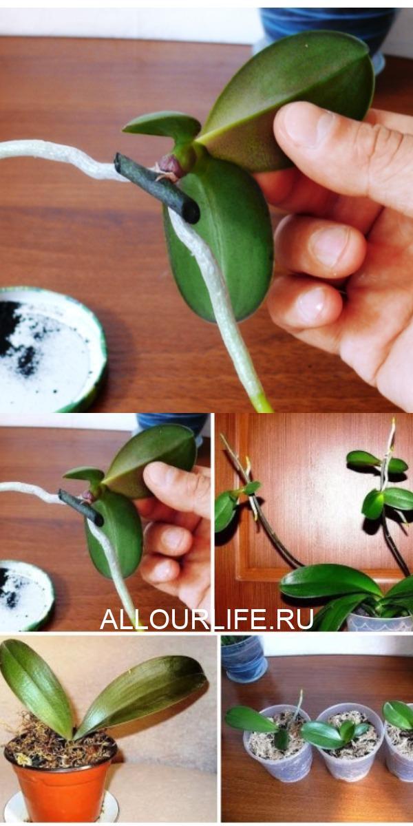 Выращиваем детку на орхидее